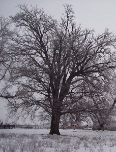 Bur Oak Winter Form